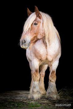 Klassische Pferde-Portraits - Monika Bogner Photography - Pferdefotografie und Hundefotografie in Bayern Barn Animals, Animals And Pets, Cute Animals, All The Pretty Horses, Beautiful Horses, Gypsy Horse, Clydesdale Horses, Funny Horses, Pony Horse