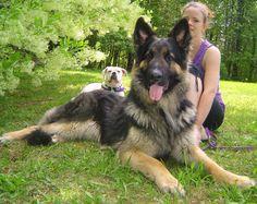 Long Haired German Shepherd Puppies