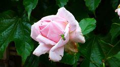 grasshopper on a pink rose