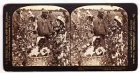 ethnic stereoview Picking Cotton $45 sagfineart@aol.com   (352) 608-8838