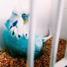 a brilliant bunch of budgerigars