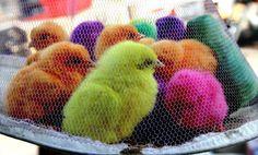 Arriva+Pasqua+e+la+crudele+moda+dei+pulcini+colorati+vivi