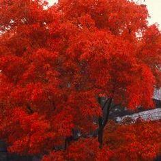 emperor japanese maple vs. bloodgood - Google Search