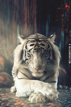 Simply Majestic White Tiger