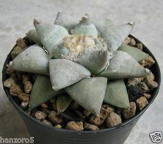 Ariocarpus furfuraceus size 8.5 cm Own roots Astrophytum Cactus