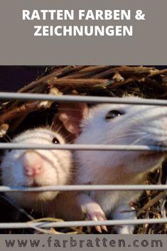 Zeichnungen der Ratten ✔ Farbratten und ihre Farbschläge ✔ Augen der Ratten ✔ Qualzuchten ✔ Meinungen ✔ Erfahrungen ✔ Ratten Rassen Hamster, Rats, Animals, Swimming, Guinea Pigs, Rabbits, Cat Races, Badges, Biology