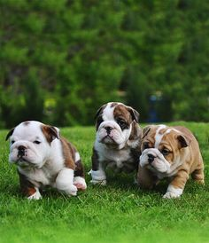 The major breeds of bulldogs are English bulldog, American bulldog, and French bulldog. The bulldog has a broad shoulder which matches with the head. English Bulldog Puppies, British Bulldog, Cute Puppies, Cute Dogs, Corgi Puppies, Labrador Golden, Baby Animals, Cute Animals, Baby Bulldogs