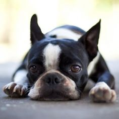 Boston Terrier, tuckered out.