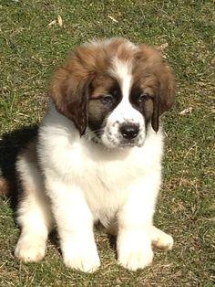 st bernard puppy at 8 weeks