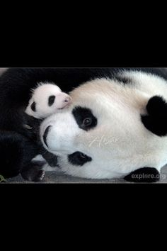 Newborn pandas cry for milk about every two hours. Between feedings, a panda mother will rarely put her baby down. (Sounds like baby Charlie) Panda Bebe, Cute Panda, Panda Panda, Baby Panda Bears, Baby Pandas, Giant Pandas, Cute Baby Animals, Animals And Pets, Carnivore