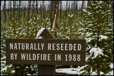 Sign about growth of trees after forest fire wildfire, Yellowstone National Park, Wyoming