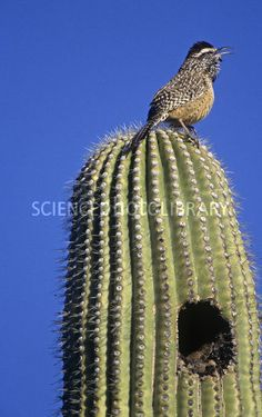Cactus wren and her home.