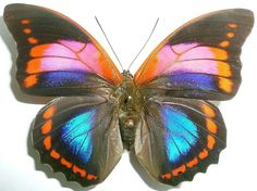 Prepona Butterfly (Praeneste SSP Female Species from Pucallpa, Ucayali, Peru, Butterflies Collection)