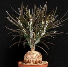 Euphorbia waringiae