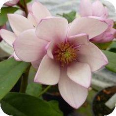 Magnolia Fairy Blush®