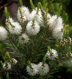 Tea Tree etherische olie is een veelzijdige olie met vele toepassingen. Leer hier meer over de mogelijkheden.