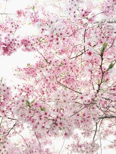 Beautiful cherry blossoms!!