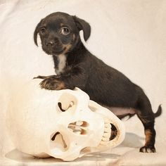 """Alas, poor Yorick""  Back in November I was fostering this little Terrier/Chihuahua/? mix named Rachel.  She was definitely one of the tiniest 8 week old puppies I've ever had, so I was seaching out items to demonstrate scale and an anatomy school skull rolled into the frame.  Over the next couple of weeks Rachel was adopted and renamed Sookie, where she lives happy with her new family."