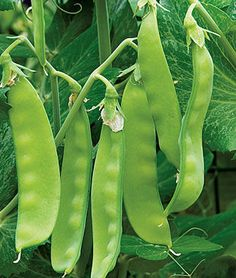 Oregon Sugar Pod II Pea Seeds and Plants, Vegetable Gardening at Burpee.com