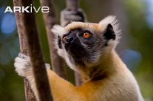 Golden-crowned sifaka facial detail
