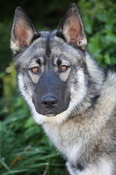 Is it just me, or does he look like a wolf with a DKR-Bane mask on? German Shepherd Rescue, German Shepherds, Bass Fishing Shirts, Norwegian Elkhound, Cute Funny Dogs, Husky Mix, Horses And Dogs, Pet Travel, Dog Pictures