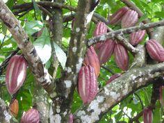cocoa Grenada