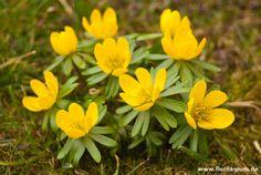 Winterling, Eranthis hyemalis  http://www.florilegium.de/blog/pflanzen/blumen-im-garten/der-winterling-eranthis-hyemalis.html
