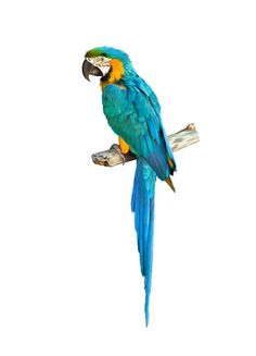 Colorful blue parrot macaw Wall Mural ✓ Easy Installation ✓ 365 Days to Return ✓ Browse other patterns from this collection! Parrot Logo, Parrot Tattoo, Parrot Fish, Parrot Craft, Parrot Tulips, Tropical Birds, Exotic Birds, Colorful Birds, Parrot Drawing