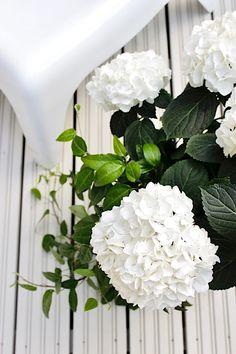 White hydrangea | Summer on terrace