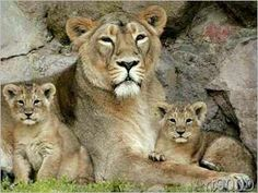 Garland - Asiatic Lion Mother with Two Cubs