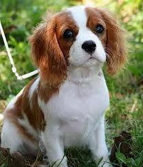 King Charles Cavalier Spaniel. Dream dog #1