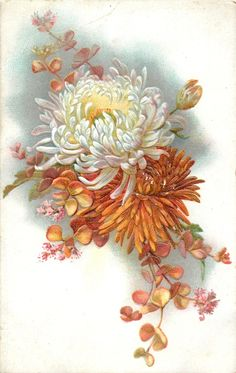 Orange & white chrysanthemum blooms with foliage ~ 1907.