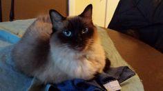 Chloe my Ragdoll