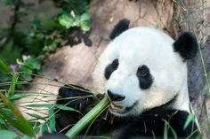 Yun Zi Celebrates 4th Birthday | The San Diego Zoo celebrate… | Flickr