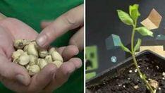 Ce punem în brazdă atunci când cultivăm roșii sau castraveți - Perfect Ask Vegetable Garden, Garden Plants, Kiwi, La Germination, Sempervivum, Indoor Bonsai Tree, Comment Planter, Plantar, Plantation