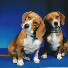 Milk Dud, the #Beagle and his sister, Squirt. #adorable #littermates