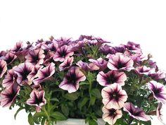 Petunien Ampel violett-weiß