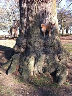 Hey, little Shiba. How do you stand on the side of that tree?