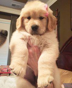 Golden Retriever Puppy, cuter without the bow imo Really Funny Dog Videos, Really Cute Dogs, I Love Dogs, Retriever Puppy, Dogs Golden Retriever, English Golden Retrievers, Cute Dogs And Puppies, Baby Dogs, Doggies