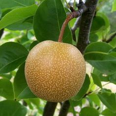4-N-1 Asian Pear Chojuro, Hosui, Shinseiki and 20th Century grafted onto one tree. Available on OHxF333. 12-18ft $47.95