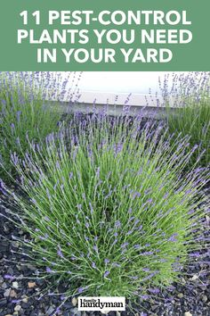 11 Pest-Control Plants You Need in Your Yard Not everyone is comfortable spraying or sprinkling pest repellents in their yard. If you're in this camp, try these plants to keep bugs out of your yard. Outside Plants, Outdoor Plants, Outdoor Gardens, Plants That Repel Bugs, Cool Plants, Plant Pests, Garden Pests, Front Yard Landscaping, Landscaping Ideas
