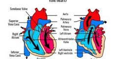 What Are Heart Murmurs?