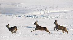 Deer run in a snow covered field near the village of Mileikovo, Belarus, Tuesday, Jan. 31, 2012. (AP / Sergei Grits)    Read more: http://www.ctv.ca/CTVNews/TopStories/20120131/europe-cold-120131/#ixzz1l3nLw8wI