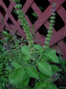 """Perennial Herb Aromatic Rama Tulsi Holy Basil 50 Seeds Medicinal Culinary by LJR. $2.77. Sun to partial shade. Tulsi Rama Holy Basil: Ocimum sanctum. Fresh 2012-13 Packaged. 50 Seeds. 12-18"""" Height. Grown as an annual in cooler climates, but reseeds and comes back every year. Small plants usually appear during the month of May, when the soil has warmed. Often grown around religious centers. Wonderful complex spicy fragrance often compared to cloves, walnuts, and banana..."""