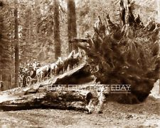 PHOTO STAGECOACH STAGE COACH LOG LOGGERS LOGGING REDWOOD TREE CALIFORNIA CA