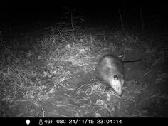11/24/2015: opossum caught on the wildlife cam at the roberd's dairy farm and shit.