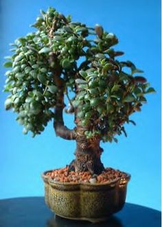 jade trees in the garden?