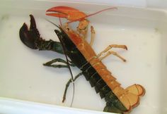 Halloween Lobster. The New England Aquarium said it's a 1-pound female lobster with a rare coloration known as a split. Marine officials say such coloration is estimated to occur once in every 50 million lobsters.