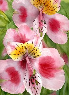 Watercolor, 30 x Painted en plein air at a local Lotus garden. Watercolor Disney, Floral Watercolor, Watercolor Paintings, Watercolour, Unique Flowers, Love Flowers, Beautiful Flowers, Lotus Garden, Peruvian Lilies