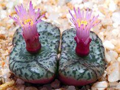 Conophytum obcordellum mundum by f.arias
